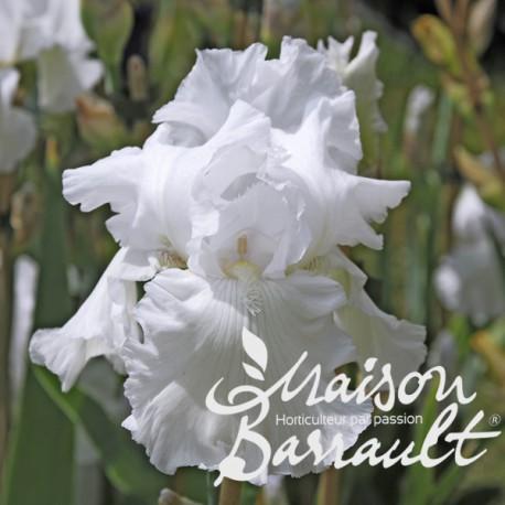 Iris germanica wedding bouquet