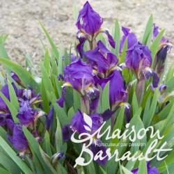 Iris pumila bingo