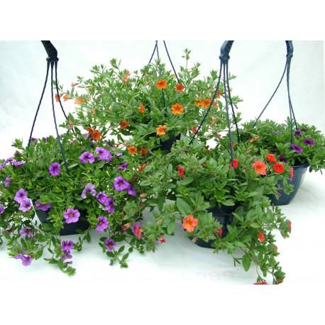 Calibrachoa million bells ® bicolore violet