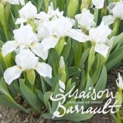 Iris pumila crispy