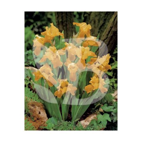 Iris pumila melon honey