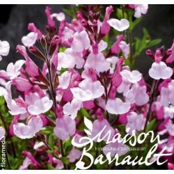 Salvia greggii joy