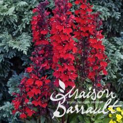 Lobelia speciosa scarlet