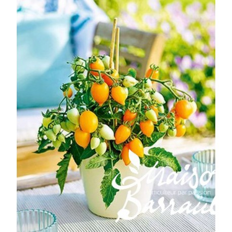 Tomate Plumbrella ® golden orange