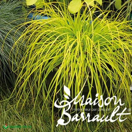Carex oshimensis everillo ®