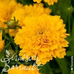 Coreopsis grandiflora solanna golden