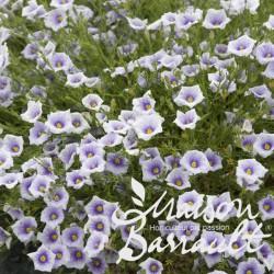 Nierembergia caerulea