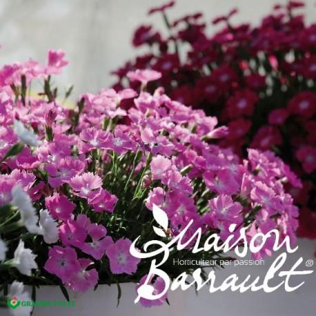 Dianthus kahorii pink