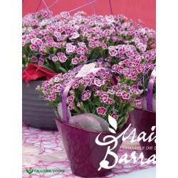 Dianthus caryophyllus pink kisses®